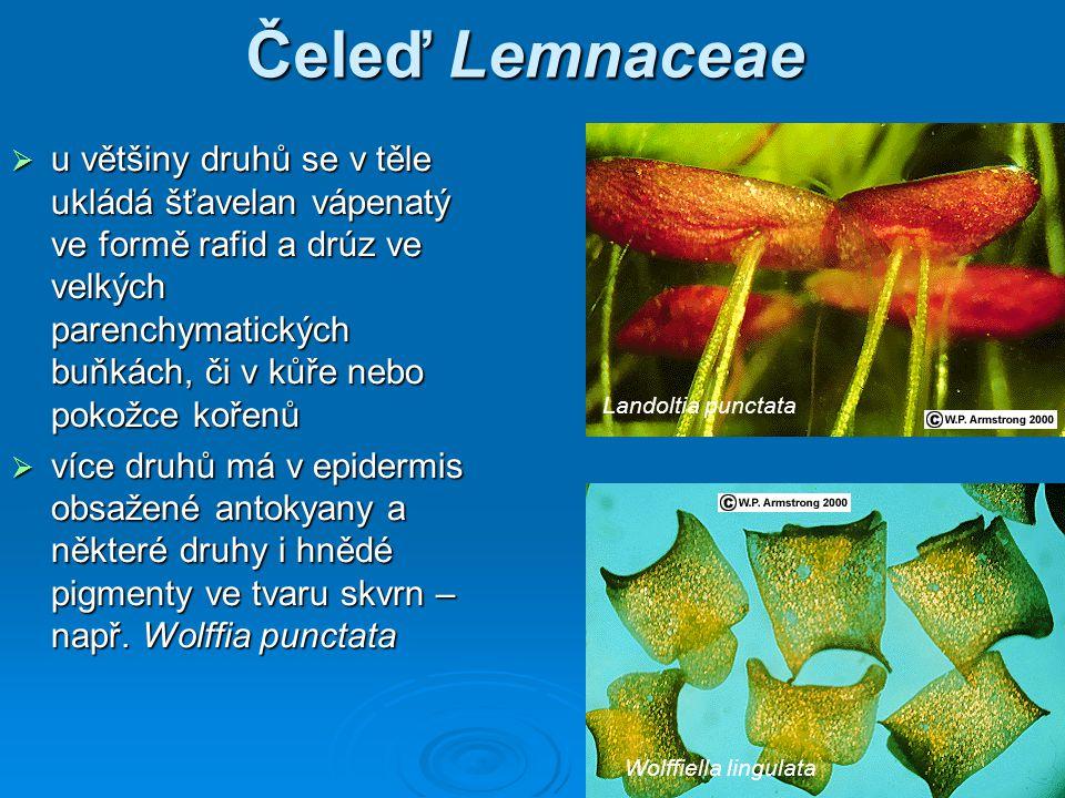 Čeleď Lemnaceae  u většiny druhů se v těle ukládá šťavelan vápenatý ve formě rafid a drúz ve velkých parenchymatických buňkách, či v kůře nebo pokožce kořenů  více druhů má v epidermis obsažené antokyany a některé druhy i hnědé pigmenty ve tvaru skvrn – např.