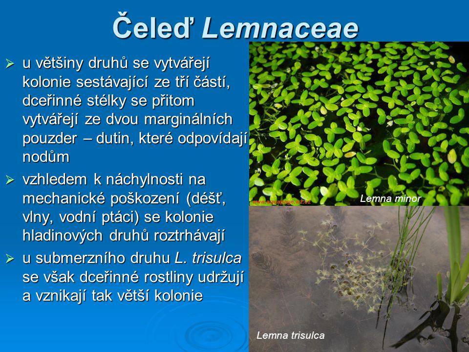 Čeleď Lemnaceae  u většiny druhů se vytvářejí kolonie sestávající ze tří částí, dceřinné stélky se přitom vytvářejí ze dvou marginálních pouzder – dutin, které odpovídají nodům  vzhledem k náchylnosti na mechanické poškození (déšť, vlny, vodní ptáci) se kolonie hladinových druhů roztrhávají  u submerzního druhu L.