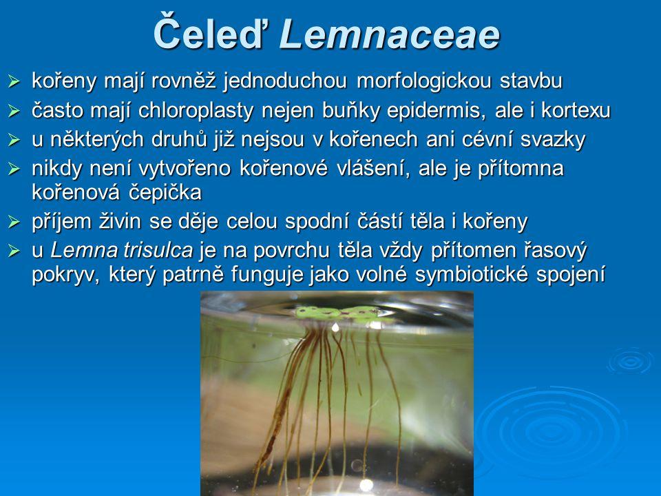 Čeleď Lemnaceae  kořeny mají rovněž jednoduchou morfologickou stavbu  často mají chloroplasty nejen buňky epidermis, ale i kortexu  u některých druhů již nejsou v kořenech ani cévní svazky  nikdy není vytvořeno kořenové vlášení, ale je přítomna kořenová čepička  příjem živin se děje celou spodní částí těla i kořeny  u Lemna trisulca je na povrchu těla vždy přítomen řasový pokryv, který patrně funguje jako volné symbiotické spojení