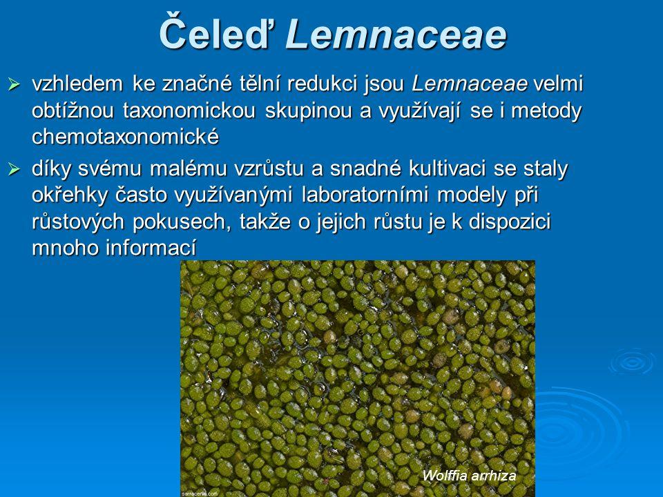 Čeleď Lemnaceae  vzhledem ke značné tělní redukci jsou Lemnaceae velmi obtížnou taxonomickou skupinou a využívají se i metody chemotaxonomické  díky svému malému vzrůstu a snadné kultivaci se staly okřehky často využívanými laboratorními modely při růstových pokusech, takže o jejich růstu je k dispozici mnoho informací Wolffia arrhiza