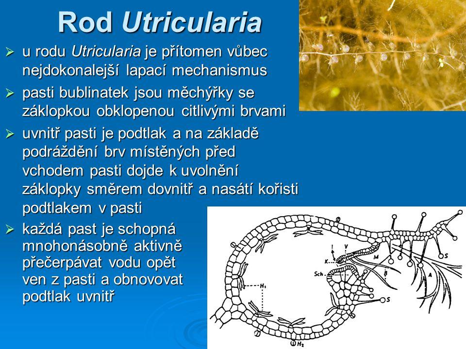 Rod Utricularia  u rodu Utricularia je přítomen vůbec nejdokonalejší lapací mechanismus  pasti bublinatek jsou měchýřky se záklopkou obklopenou citlivými brvami  uvnitř pasti je podtlak a na základě podráždění brv místěných před vchodem pasti dojde k uvolnění záklopky směrem dovnitř a nasátí kořisti podtlakem v pasti  každá past je schopná mnohonásobně aktivně přečerpávat vodu opět ven z pasti a obnovovat podtlak uvnitř