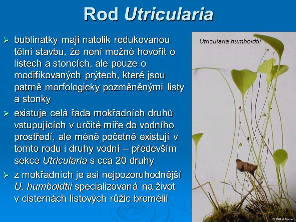 Rod Utricularia  bublinatky mají natolik redukovanou tělní stavbu, že není možné hovořit o listech a stoncích, ale pouze o modifikovaných prýtech, které jsou patrně morfologicky pozměněnými listy a stonky  existuje celá řada mokřadních druhů vstupujících v určité míře do vodního prostředí, ale méně početně existují v tomto rodu i druhy vodní – především sekce Utricularia s cca 20 druhy  z mokřadních je asi nejpozoruhodnější U.