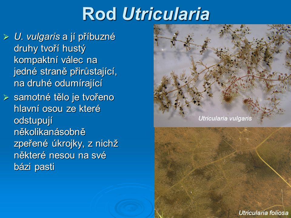 Rod Utricularia  U. vulgaris a jí příbuzné druhy tvoří hustý kompaktní válec na jedné straně přirůstající, na druhé odumírající  samotné tělo je tvo