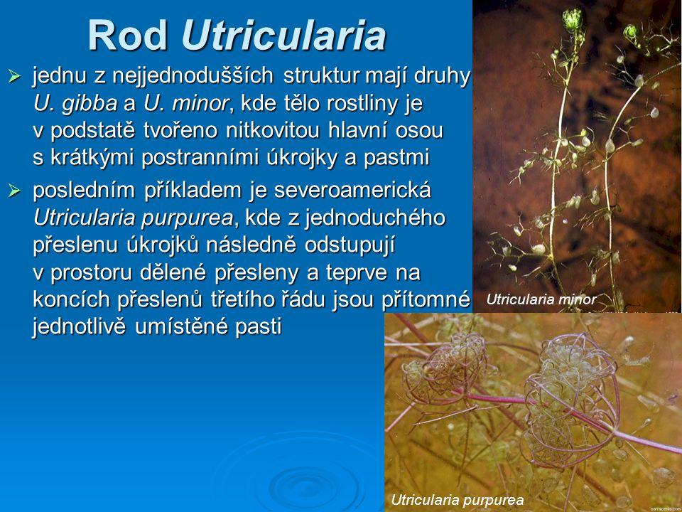 Rod Utricularia  jednu z nejjednodušších struktur mají druhy U. gibba a U. minor, kde tělo rostliny je v podstatě tvořeno nitkovitou hlavní osou s kr