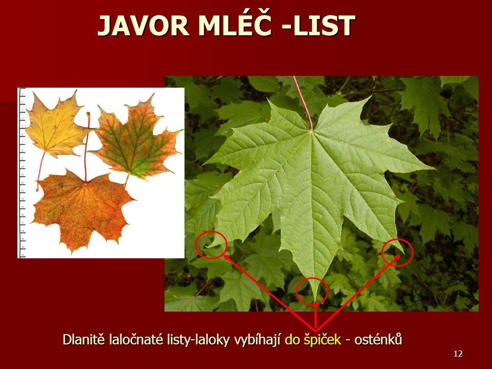 12 Dlanitě laločnaté listy-laloky vybíhají do špiček - osténků JAVOR MLÉČ -LIST