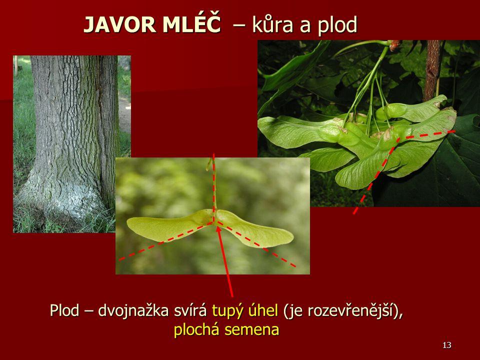 13 Plod – dvojnažka svírá tupý úhel (je rozevřenější), plochá semena JAVOR MLÉČ – kůra a plod