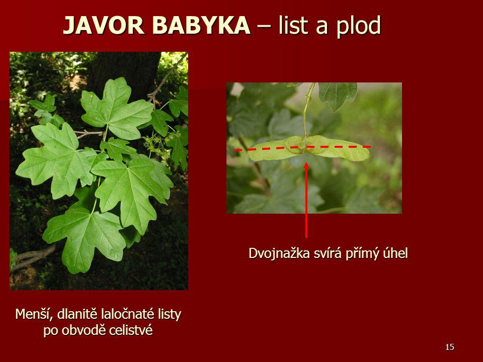 15 Menší, dlanitě laločnaté listy po obvodě celistvé Dvojnažka svírá přímý úhel JAVOR BABYKA – list a plod