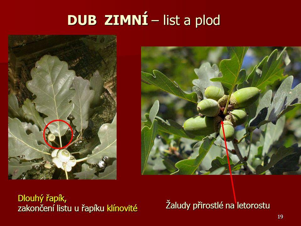 19 Dlouhý řapík, zakončení listu u řapíku klínovité Žaludy přirostlé na letorostu DUB ZIMNÍ – list a plod