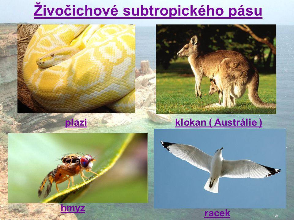 klokan ( Austrálie ) racek hmyz plazi Živočichové subtropického pásu