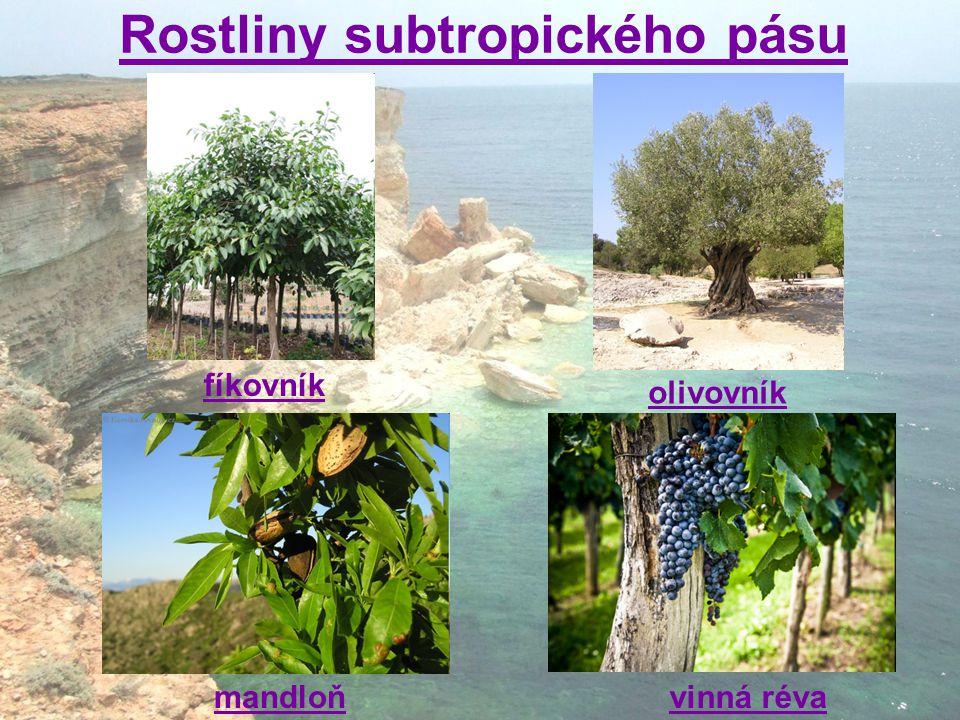Rostliny subtropického pásu olivovník mandloň fíkovník vinná réva