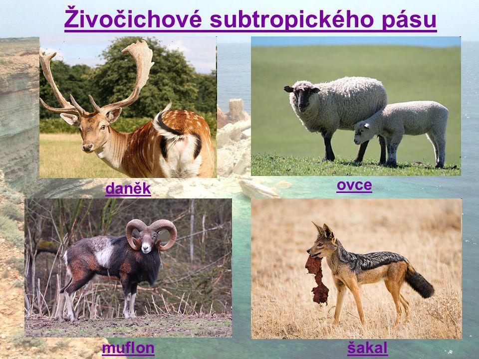 daněk muflonšakal ovce Živočichové subtropického pásu