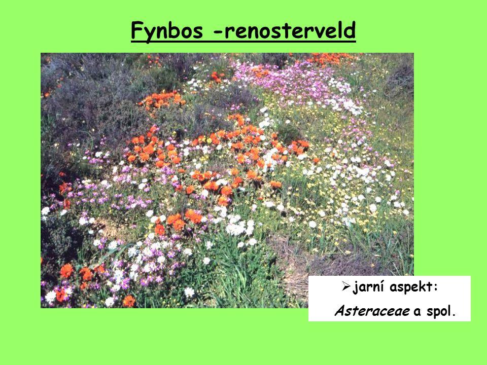 Fynbos -renosterveld  jarní aspekt: Asteraceae a spol.