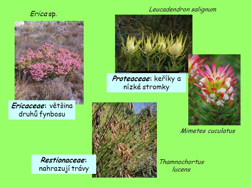 Erica sp. Leucadendron salignum Mimetes cuculatus Ericaceae: většina druhů fynbosu Proteaceae: keříky a nízké stromky Restionaceae: nahrazují trávy Th