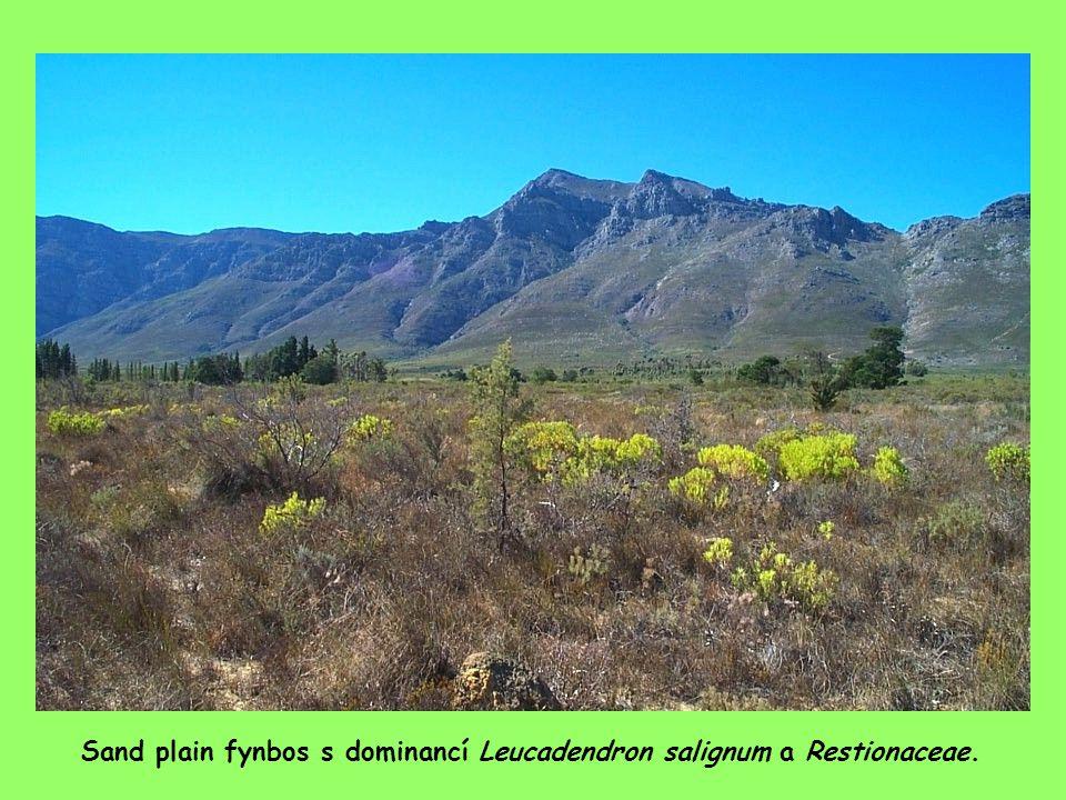 Sand plain fynbos s dominancí Leucadendron salignum a Restionaceae.