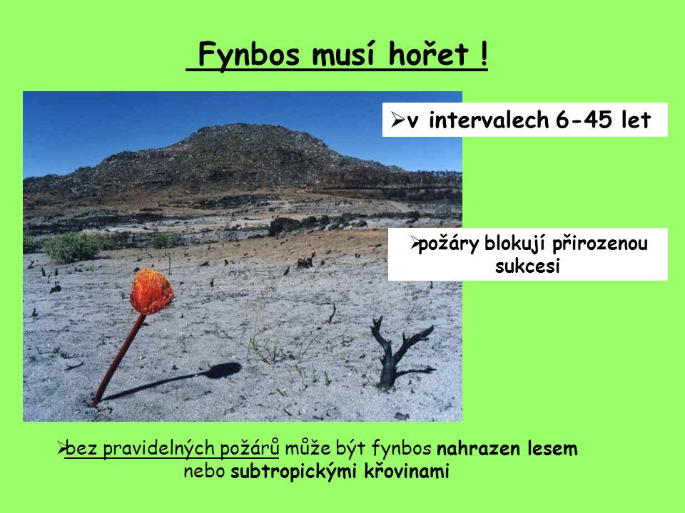 Fynbos musí hořet !  v intervalech 6-45 let  požáry blokují přirozenou sukcesi  bez pravidelných požárů může být fynbos nahrazen lesem nebo subtrop