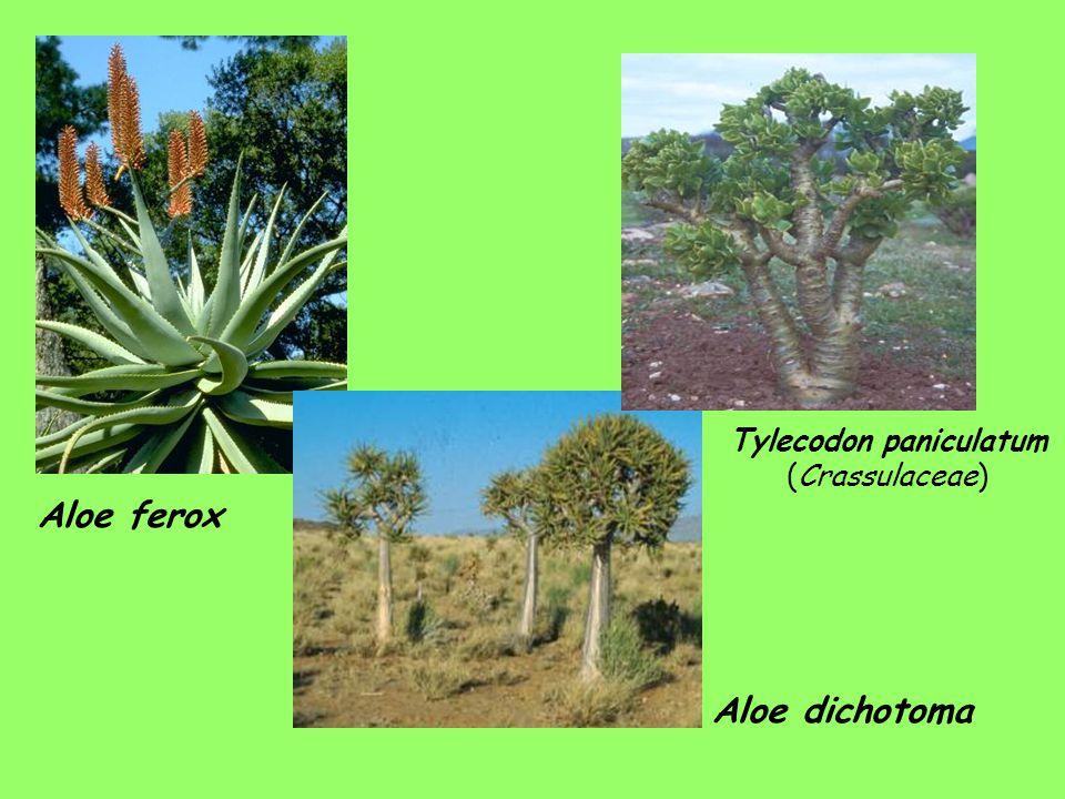 Aloe ferox Aloe dichotoma Tylecodon paniculatum (Crassulaceae)
