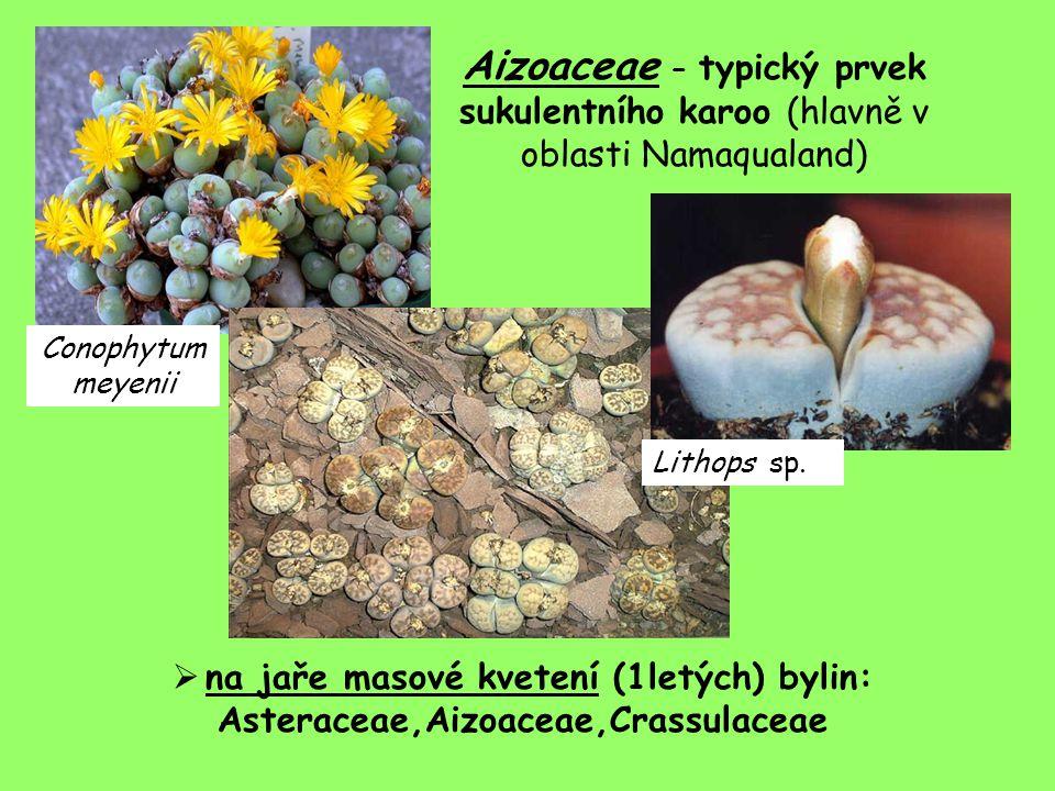Aizoaceae – typický prvek sukulentního karoo (hlavně v oblasti Namaqualand)  na jaře masové kvetení (1letých) bylin: Asteraceae,Aizoaceae,Crassulaceae Lithops sp.