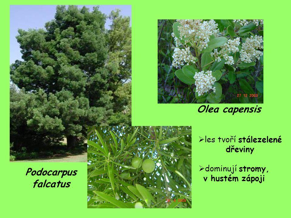 Olea capensis Podocarpus falcatus  les tvoří stálezelené dřeviny  dominují stromy, v hustém zápoji
