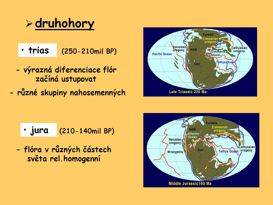  druhohory trias (250-210mil BP) - výrazná diferenciace flór začíná ustupovat - různé skupiny nahosemenných jura (210-140mil BP) - flóra v různých čá