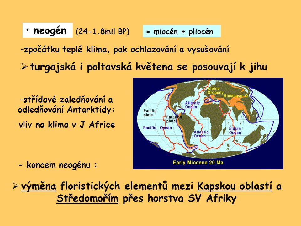 neogén (24-1.8mil BP) -zpočátku teplé klima, pak ochlazování a vysušování  turgajská i poltavská květena se posouvají k jihu -střídavé zaledňování a odledňování Antarktidy: vliv na klima v J Africe - koncem neogénu :  výměna floristických elementů mezi Kapskou oblastí a Středomořím přes horstva SV Afriky = miocén + pliocén