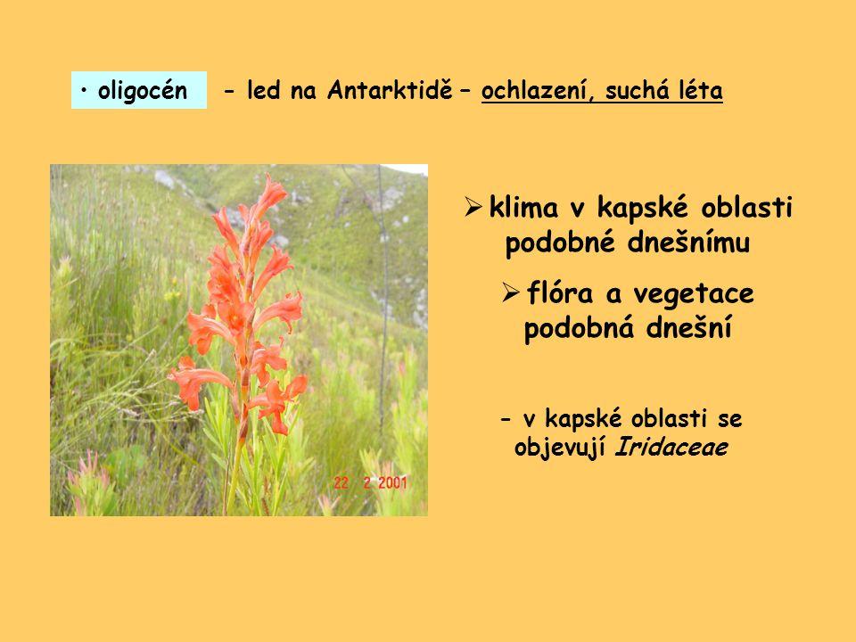 oligocén- led na Antarktidě – ochlazení, suchá léta  klima v kapské oblasti podobné dnešnímu  flóra a vegetace podobná dnešní - v kapské oblasti se objevují Iridaceae