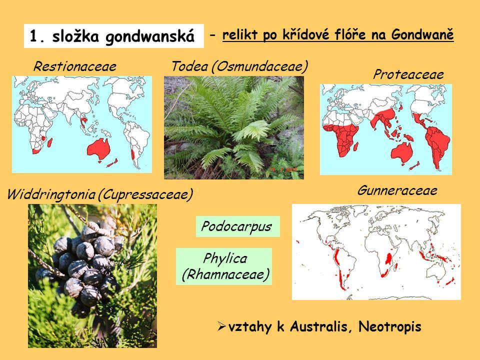 1. složka gondwanská - relikt po křídové flóře na Gondwaně Proteaceae Restionaceae Gunneraceae Todea (Osmundaceae) Widdringtonia (Cupressaceae) Podoca