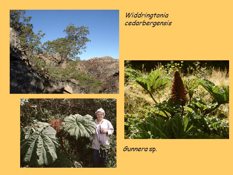 Widdringtonia cedarbergensis Gunnera sp.