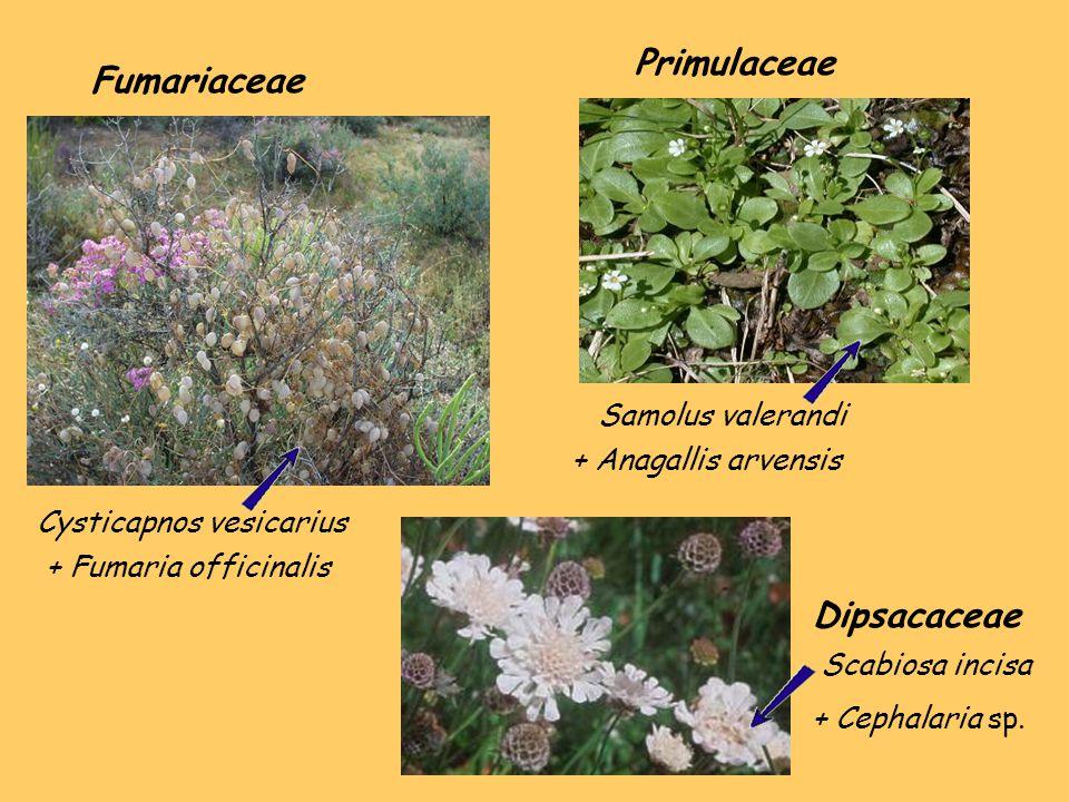 Cysticapnos vesicarius Samolus valerandi Fumariaceae + Fumaria officinalis Primulaceae + Anagallis arvensis Dipsacaceae Scabiosa incisa + Cephalaria sp.