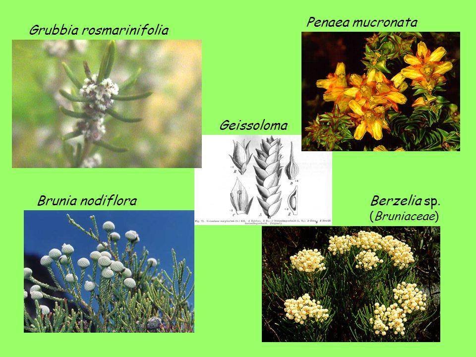 Geissoloma Grubbia rosmarinifolia Penaea mucronata Brunia nodifloraBerzelia sp. (Bruniaceae)