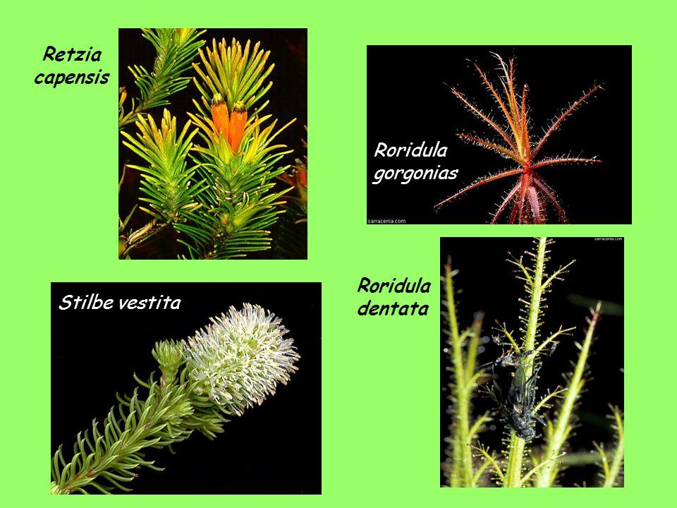 Stilbe vestita Roridula dentata Roridula gorgonias Retzia capensis