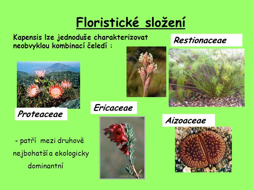 Floristické složení Kapensis lze jednoduše charakterizovat neobvyklou kombinací čeledí : Proteaceae Ericaceae Restionaceae Aizoaceae - patří mezi druhově nejbohatší a ekologicky dominantní