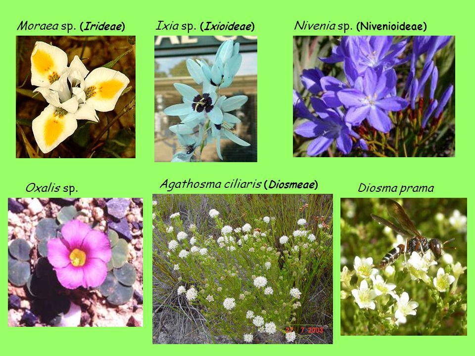 Moraea sp. (Irideae) Ixia sp. (Ixioideae) Nivenia sp. (Nivenioideae) Agathosma ciliaris (Diosmeae) Diosma pramaOxalis sp.