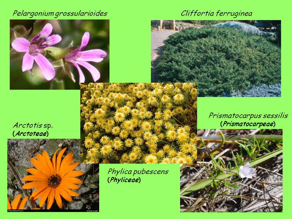 Pelargonium grossularioides Phylica pubescens (Phyliceae) Cliffortia ferruginea Arctotis sp. (Arctoteae) Prismatocarpus sessilis (Prismatocarpeae)