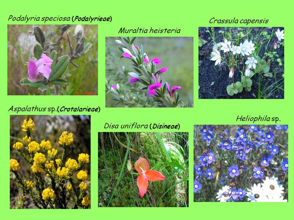 Muraltia heisteria Disa uniflora (Disineae) Heliophila sp.