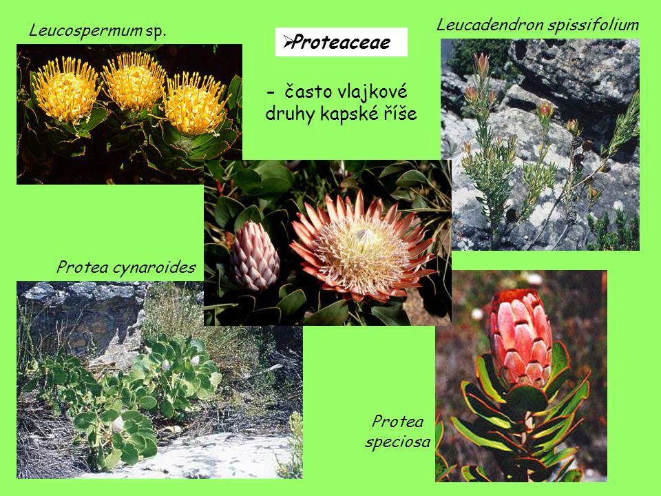 Leucospermum sp. Leucadendron spissifolium Protea cynaroides Protea speciosa  Proteaceae - často vlajkové druhy kapské říše