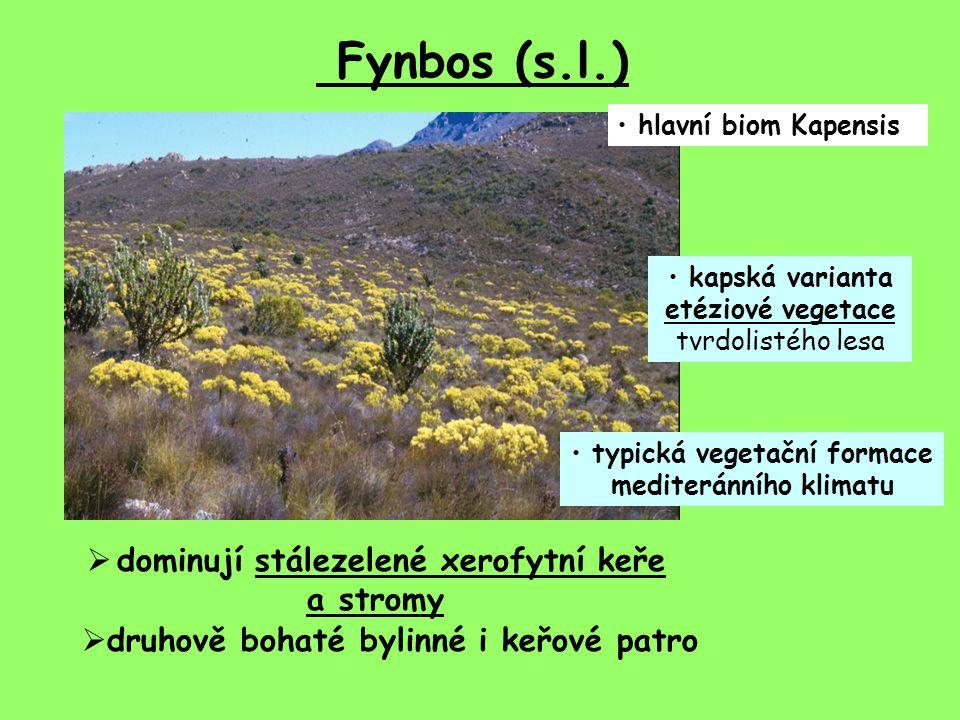 Fynbos (s.l.) hlavní biom Kapensis kapská varianta etéziové vegetace tvrdolistého lesa typická vegetační formace mediteránního klimatu  dominují stálezelené xerofytní keře a stromy  druhově bohaté bylinné i keřové patro