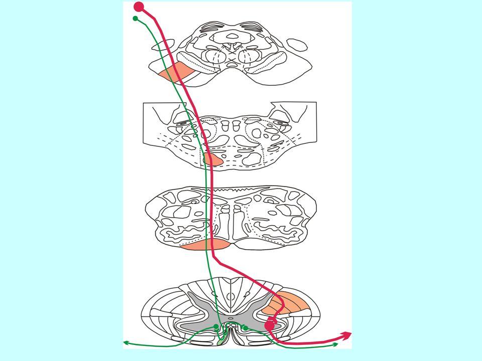 Jádra hlavových nervů v mozkovém kmeni Somatomotorika