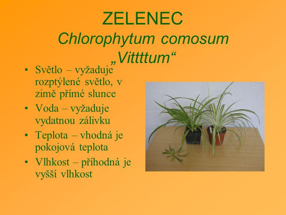"""ZELENEC Chlorophytum comosum """"Vittttum"""" Světlo – vyžaduje rozptýlené světlo, v zimě přímé slunce Voda – vyžaduje vydatnou zálivku Teplota – vhodná je"""