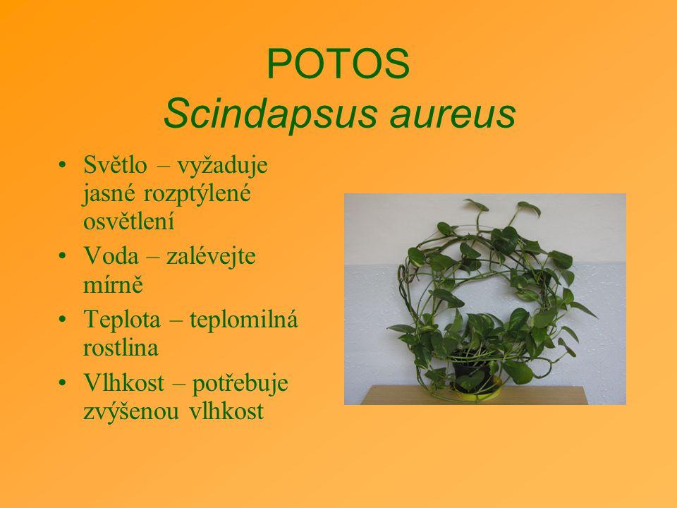 POTOS Scindapsus aureus Světlo – vyžaduje jasné rozptýlené osvětlení Voda – zalévejte mírně Teplota – teplomilná rostlina Vlhkost – potřebuje zvýšenou