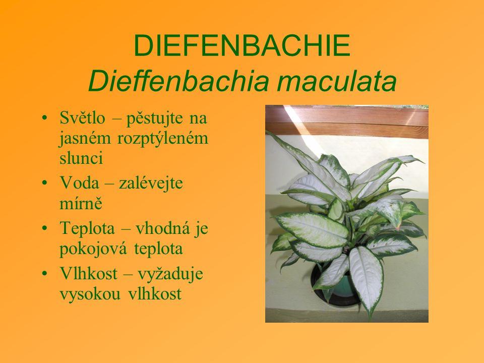 DIEFENBACHIE Dieffenbachia maculata Světlo – pěstujte na jasném rozptýleném slunci Voda – zalévejte mírně Teplota – vhodná je pokojová teplota Vlhkost