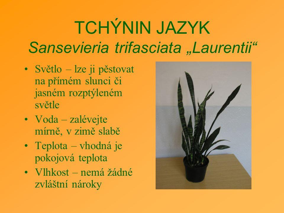"""TCHÝNIN JAZYK Sansevieria trifasciata """"Laurentii"""" Světlo – lze ji pěstovat na přímém slunci či jasném rozptýleném světle Voda – zalévejte mírně, v zim"""