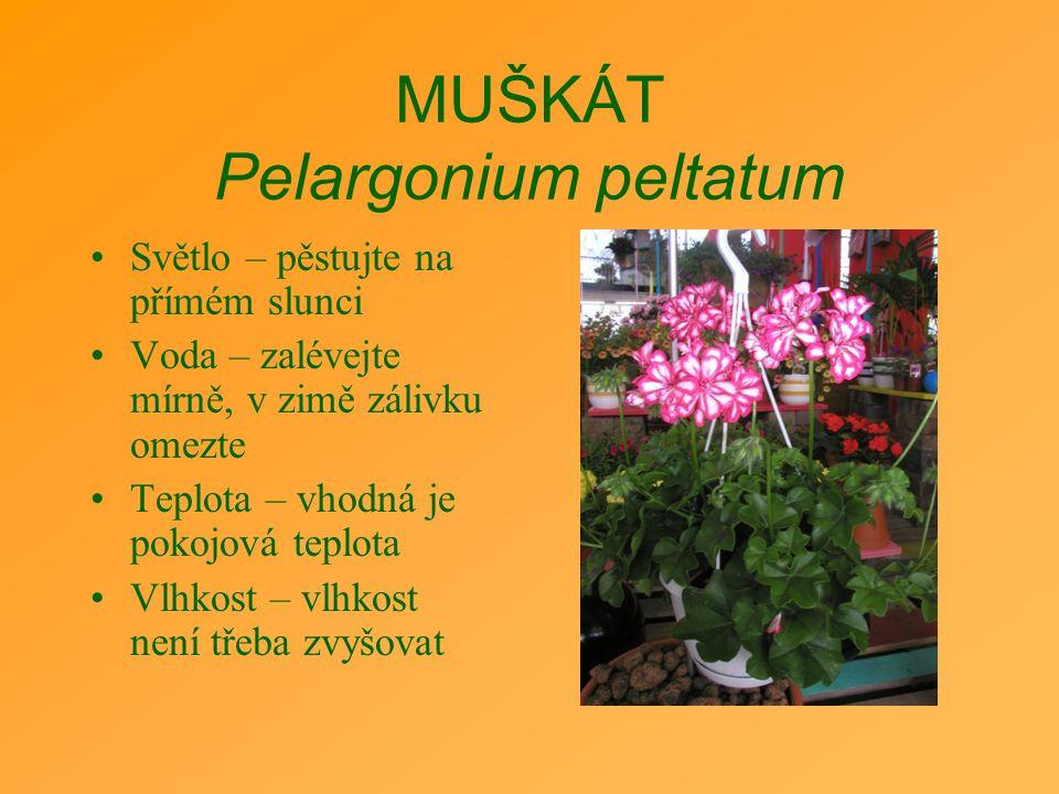 MUŠKÁT Pelargonium peltatum Světlo – pěstujte na přímém slunci Voda – zalévejte mírně, v zimě zálivku omezte Teplota – vhodná je pokojová teplota Vlhk