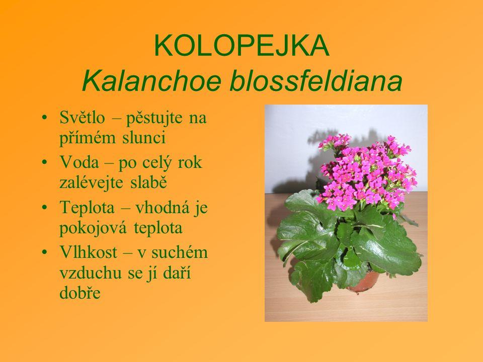 KOLOPEJKA Kalanchoe blossfeldiana Světlo – pěstujte na přímém slunci Voda – po celý rok zalévejte slabě Teplota – vhodná je pokojová teplota Vlhkost –