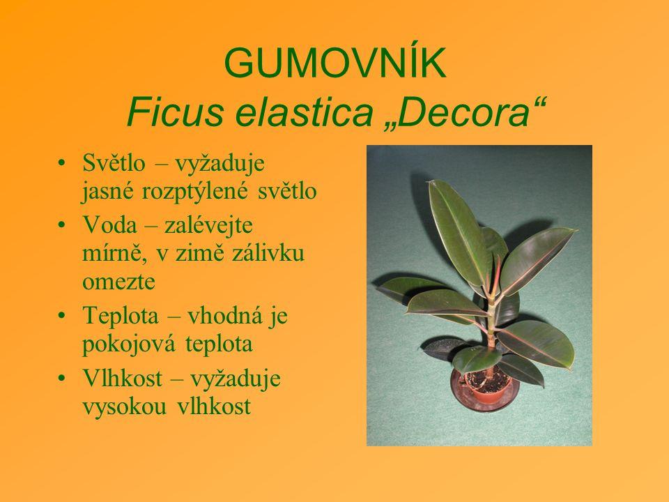 """GUMOVNÍK Ficus elastica """"Decora"""" Světlo – vyžaduje jasné rozptýlené světlo Voda – zalévejte mírně, v zimě zálivku omezte Teplota – vhodná je pokojová"""