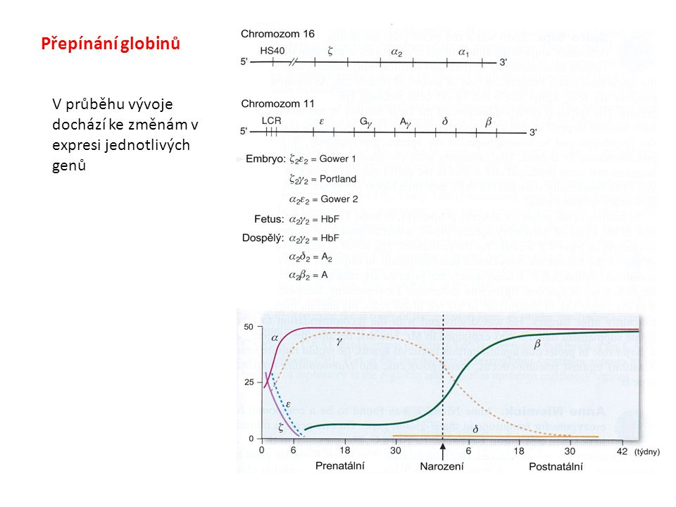 Přepínání globinů V průběhu vývoje dochází ke změnám v expresi jednotlivých genů