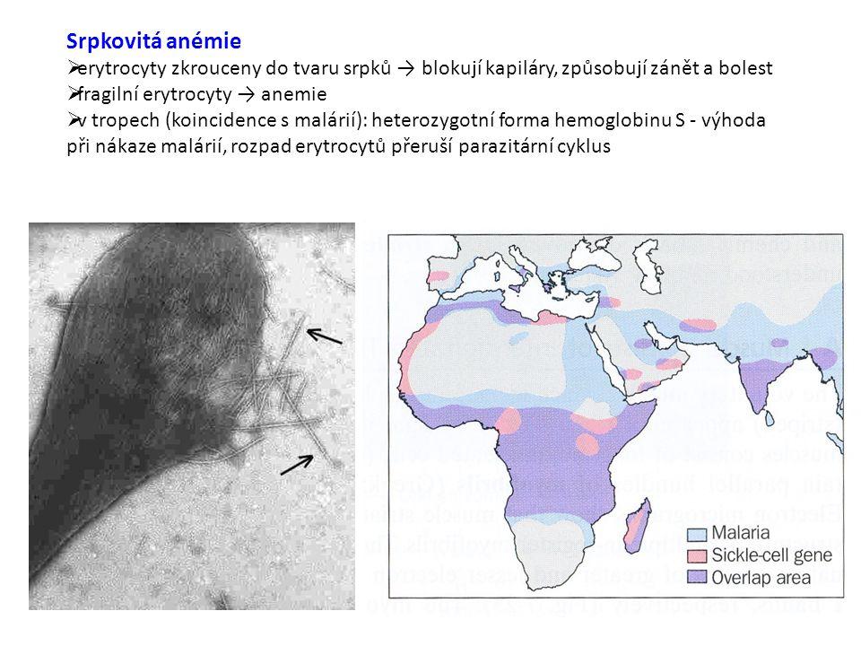 Srpkovitá anémie  erytrocyty zkrouceny do tvaru srpků → blokují kapiláry, způsobují zánět a bolest  fragilní erytrocyty → anemie  v tropech (koincidence s malárií): heterozygotní forma hemoglobinu S - výhoda při nákaze malárií, rozpad erytrocytů přeruší parazitární cyklus