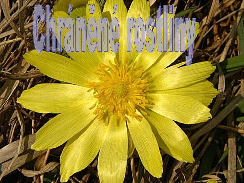 Hlaváček jarní je vytrvalá,vysoká bylina rostoucí ze silného oddenku.