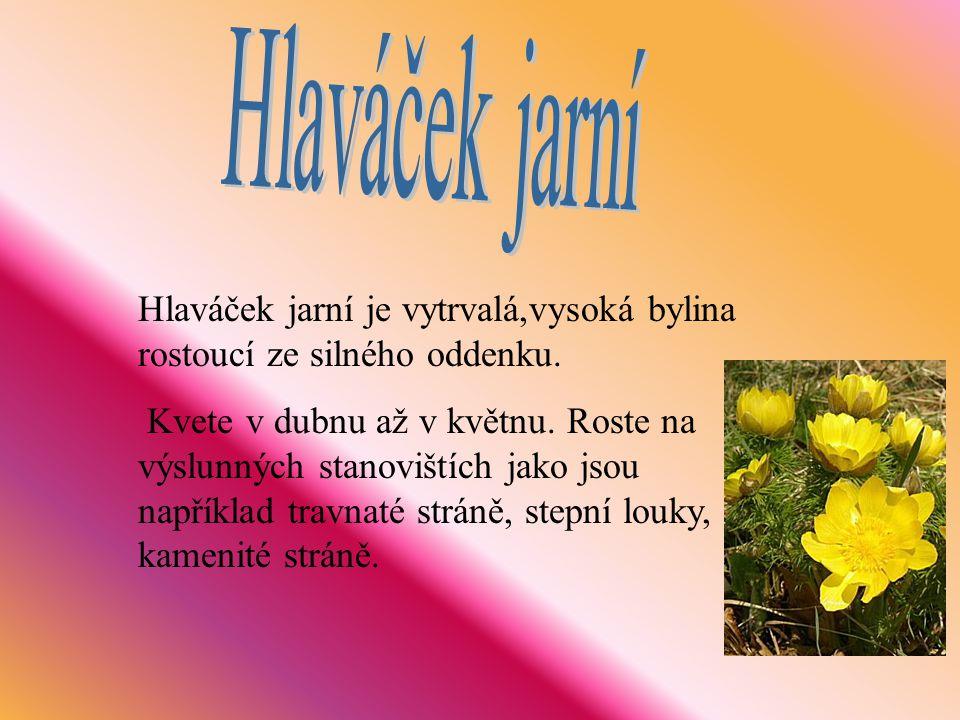 Hlaváček jarní je vytrvalá,vysoká bylina rostoucí ze silného oddenku. Kvete v dubnu až v květnu. Roste na výslunných stanovištích jako jsou například