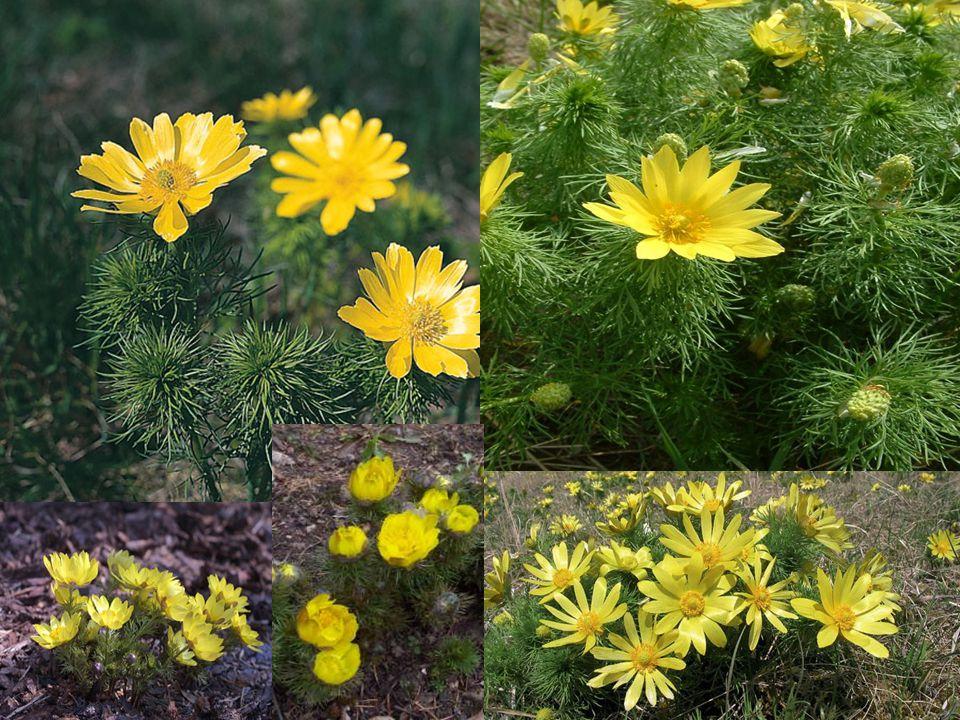 Lilie zlatohlavá je vytrvalá statná, až 1 m vysoká bylina vyrůstající z cibule.
