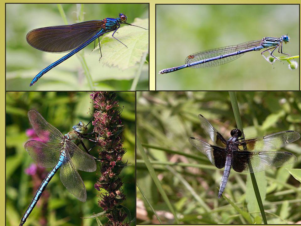 řád KUDLANKY - dravý hmyz - první pár nohou přizpůsoben k lovu – ze spodu pevné ostny - u nás KUDLANKA NÁBOŽNÁ (j.